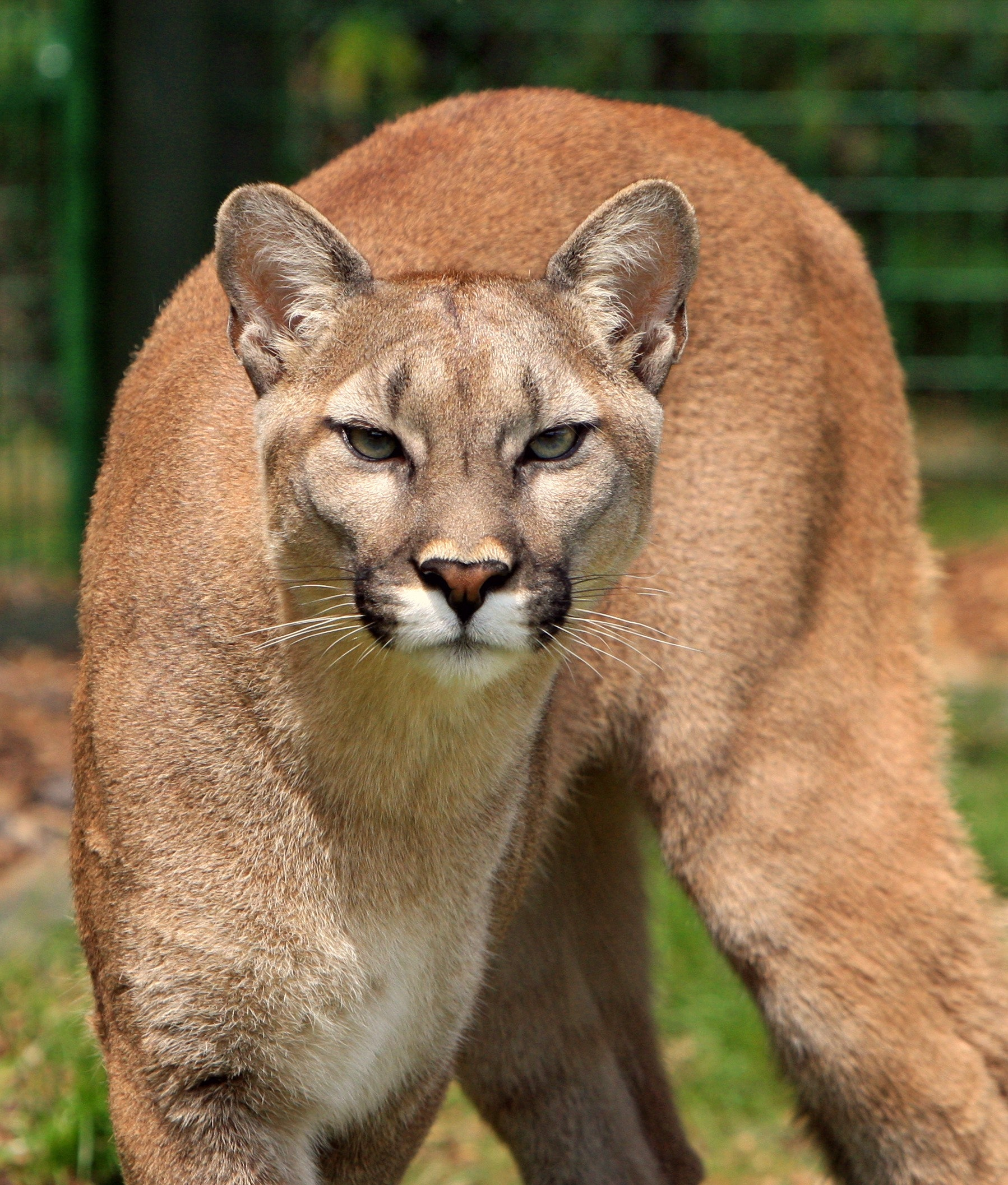 """""""Stay away""""; cougar sighted at Sportsplex"""